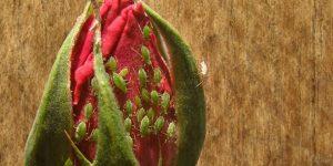plaga de pulgon en la rosa